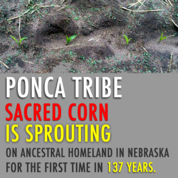ponca_corn_sprouting